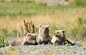 Brown bear cubs,Alaska,USA