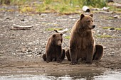 Brown bear mother and cub,Alaska,USA
