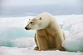 Polar bear sitting on a ice floe