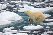 Polar bear jumping across ice floes