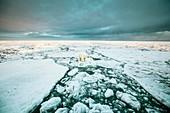 Polar standing on an ice floe