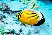Blacktail butterflyfish