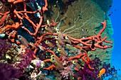 Shimmering cardinalfish