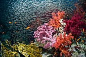 Red sea dwarf sweepers and soft coral