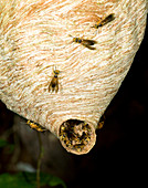 Tropical wasp nest