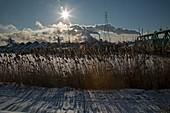 Phragmites reeds and steel mill