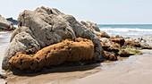 Honeycomb Worm reef
