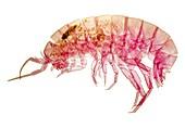 Shrimp,light micrograph