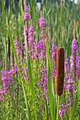 Purple loosestrife and cattail plants