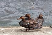 Ducks covered in oil