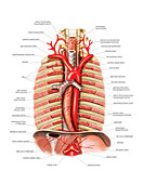 Arterial system of Oesophagus,artwork