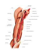 Arterial system of the shoulder,artwork