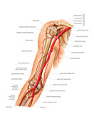 Arterial system of the arm,artwork