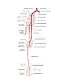 Arterial system of the leg,artwork