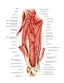 Arterial system of the thigh,artwork