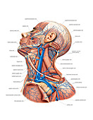 Venous system of the head and neck