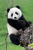 Juvenile Giant Panda
