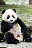 Young captive Giant Panda eating Bamboo