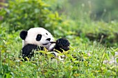 Juvenile Giant Panda feeding