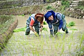 Rice Cultivation in Yunnan Province