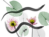 Eels and water lilies,X-ray