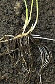 Rhizomes of couch grass (Elymus repens)