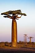 Grandidier's baobab trees