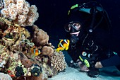 Red Sea clownfish and diver