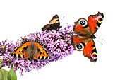 Butterflies on a buddleia