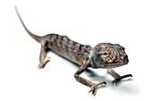 Juvenile Labord's chameleon
