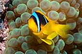 Twoband anemonefish in an anemone