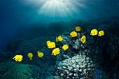 Golden butterflyfish