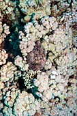 Stonefish camouflaged on corals