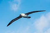 Indian Ocean yellow-nosed albatross
