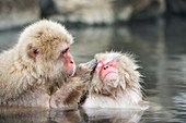 Japanese macaques grooming