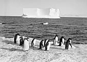 Antarctic penguins and iceberg,1911