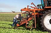 Radish harvest,Florida,USA