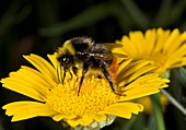 Red-tailed bumblebee feeding on a flower