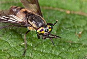 Deer fly on a leaf