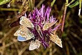 Adonis blue butterflies on knapweed