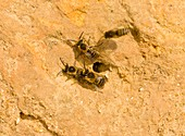 Ivy bees nesting in a cliff