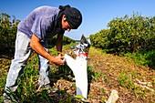 Grafting in an Avocado Plantation