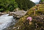 Stonecrop (Sedum pilosum) by a river