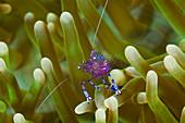 Anemone Commensal Shrimp