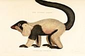 Ruffed lemur,19th century artwork