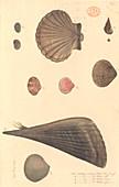 Molluscs,illustration