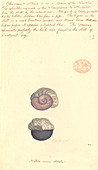 Violet snail,illustration