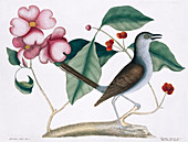 Northern mockingbird,illustration