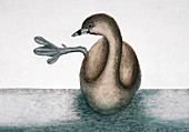 Pied-billed grebe,illustration