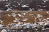 Gulls at a landfill site,USA